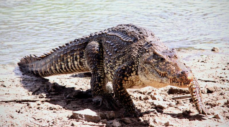 Кубинский крокодил: Самый агрессивный среди прочих