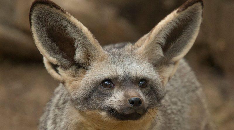 Большеухая лисица: Она слышит ВАШ плач