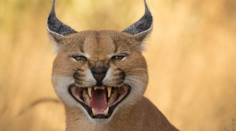 Каракал: Кошка для самых смелых!