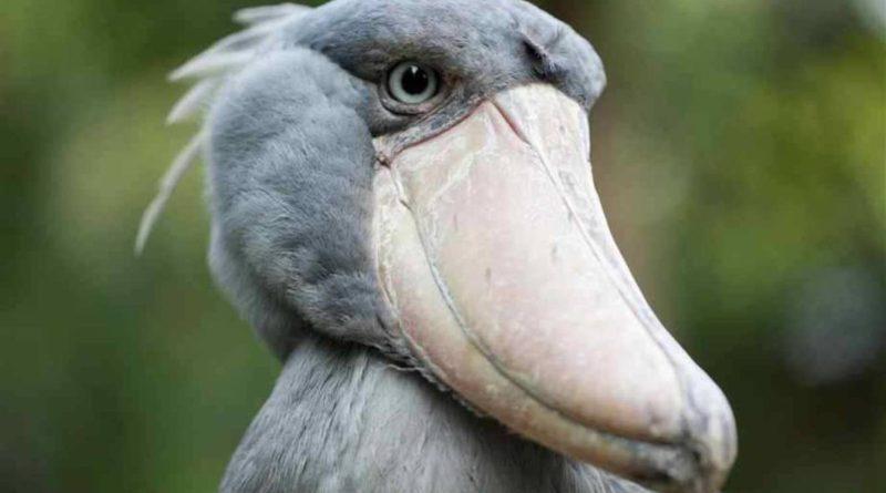 Китоглав: Птица с головой кита