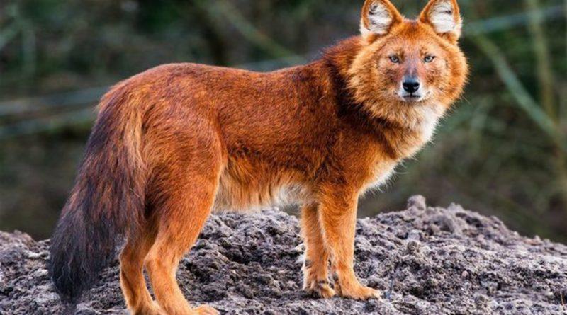 Красный волк и победа коммунизма