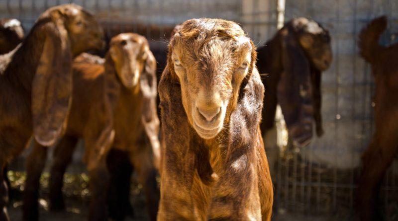 Шами: Вместо козы, овцы и коровы у арабов