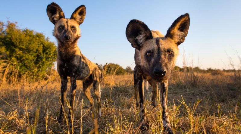 Дикие африканские собаки: Любые хищники перед ними - дети!
