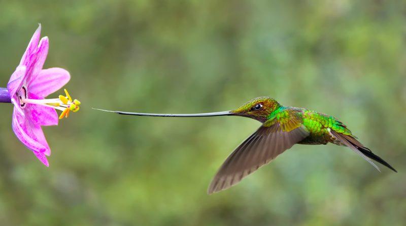 Мечеклювый колибри: Вся жизнь на энергетиках