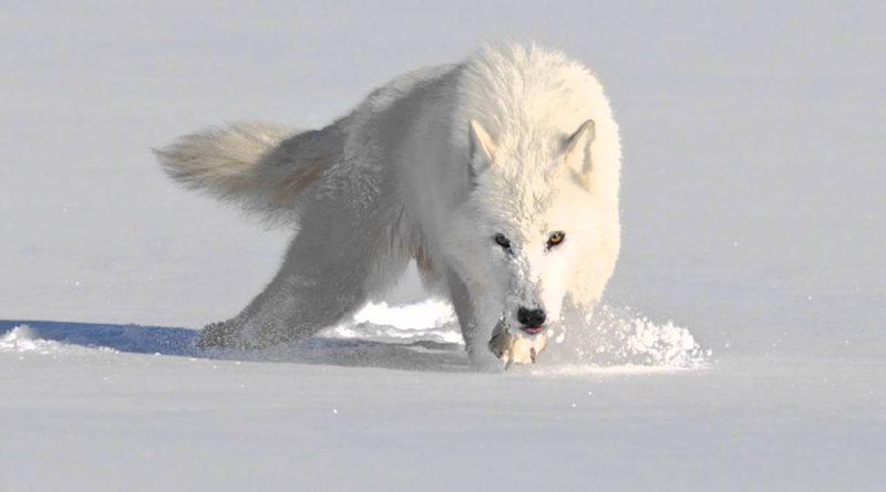 Полярный волк: Экстремальное выживание в АДУ