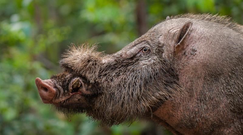 Бородатая свинья: Современный идол модельного бизнеса