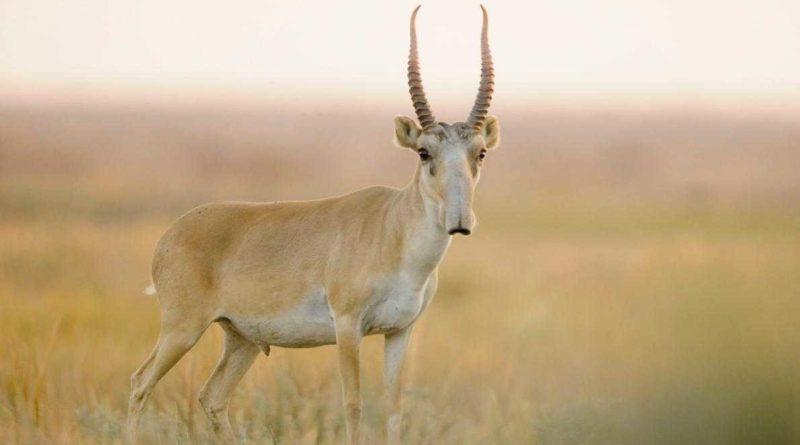 Сайгак: Как продать совесть за рога