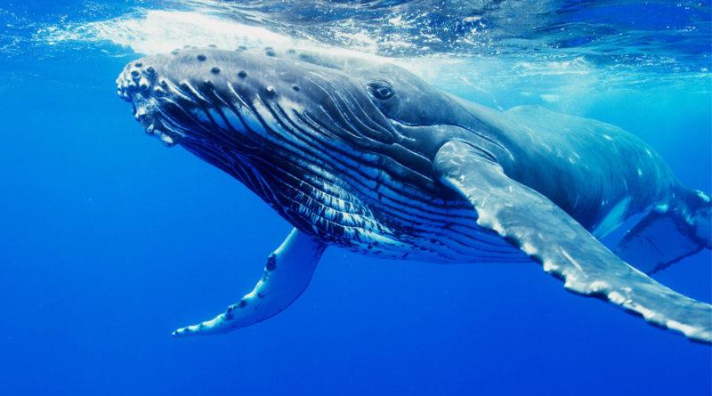 Синий кит: Владыка морей и океанов
