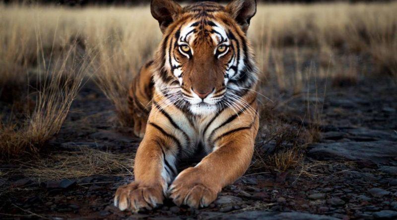 Китайский тигр: Цепляется за жизнь мертвой хваткой