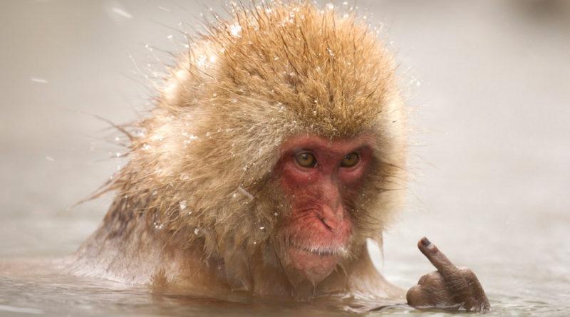 Японский макак: Его интересуют только самочки и парилочка