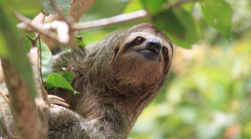 Бурогорлый ленивец: Неунывающий тунеядец