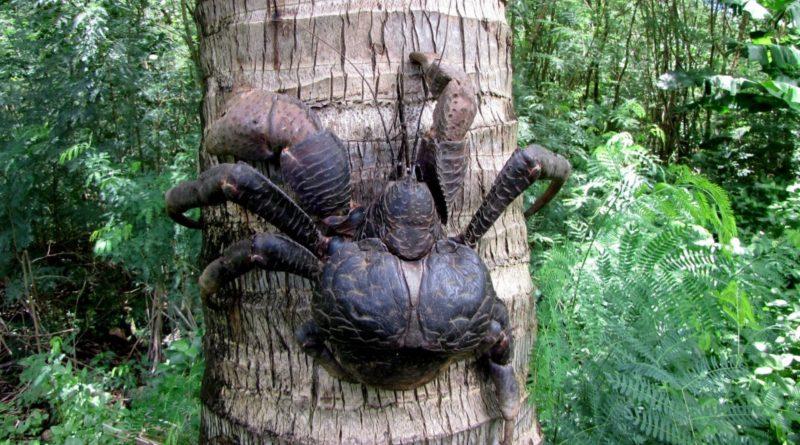 Пальмовый вор: Гигантские раки-отшельники разоряют деревни и нападают на домашних животных
