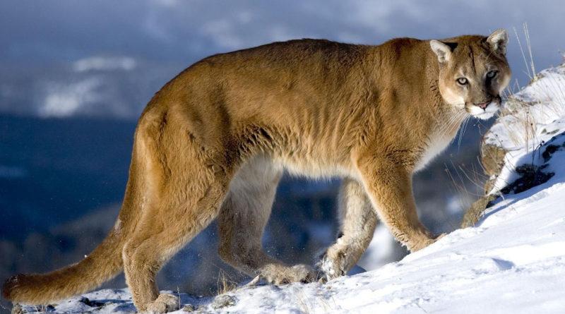 Пума, кугуар или горный лев?
