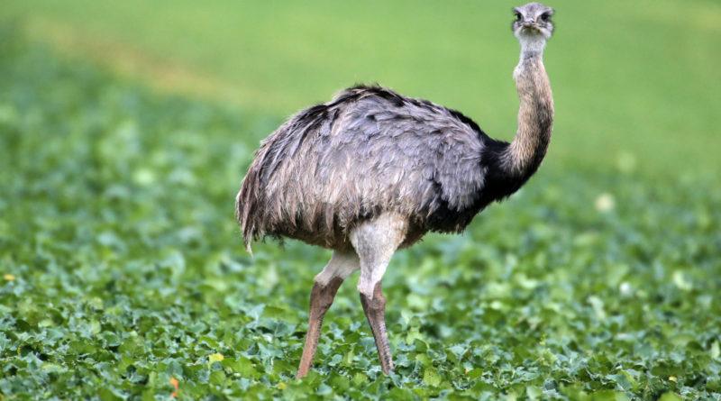 Нанду: Это не страус!