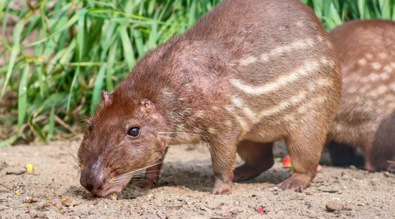 Пака: Агрессивная Крыса-переросток