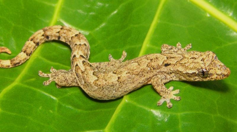 Траурный геккон: Пересядь с иглы мужского одобрения на ПАРТЕНОГЕНЕЗ!