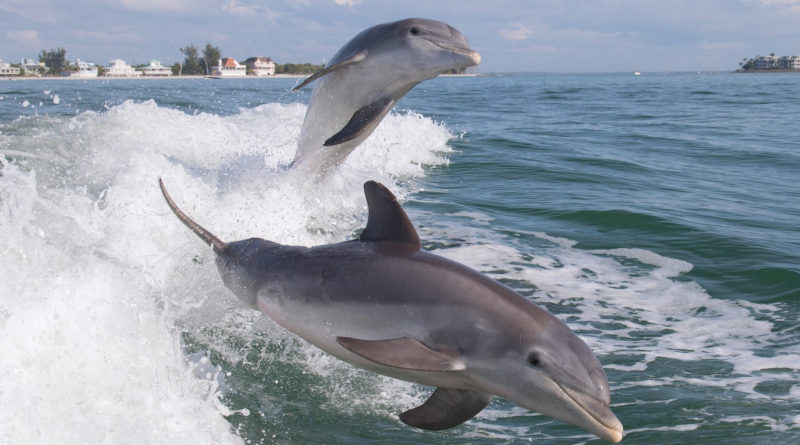 Афалина: Обратная чёрная сторона дельфинов, о которой не принято говорить
