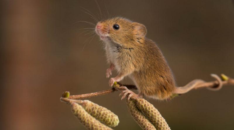 Полевая мышь: Заменит трёх всадников Апокалипсиса