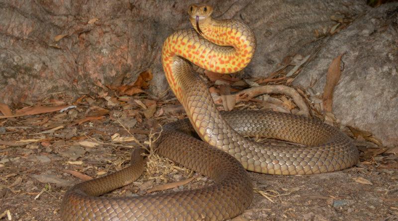 Тайпан Маккоя: Змея с самым токсичным ядом на планете