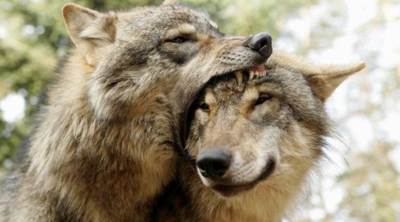 Серый волк: Не ложитесь на бочок