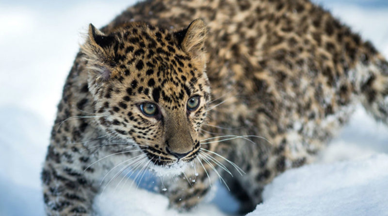 Дальневосточный леопард: Самая редкая кошка в мире