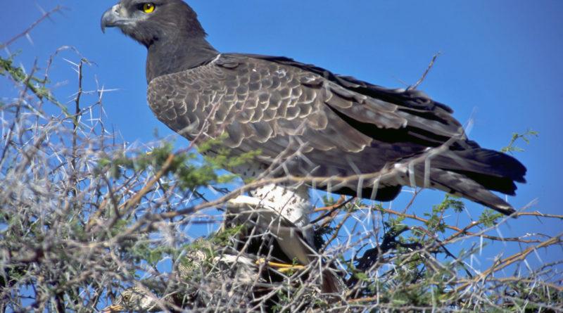 Боевой орёл: Пернатый альфа-хищник