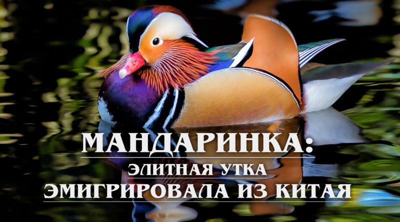 МАНДАРИНКА: Элитная утка, которая эмигрировала из Китая