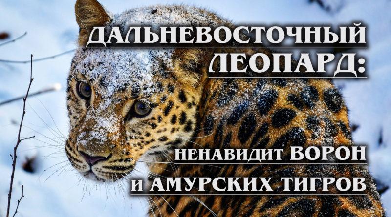 far Eastern leopard