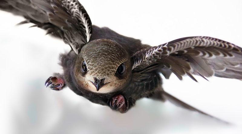 Чёрный стриж: Не умеет летать?