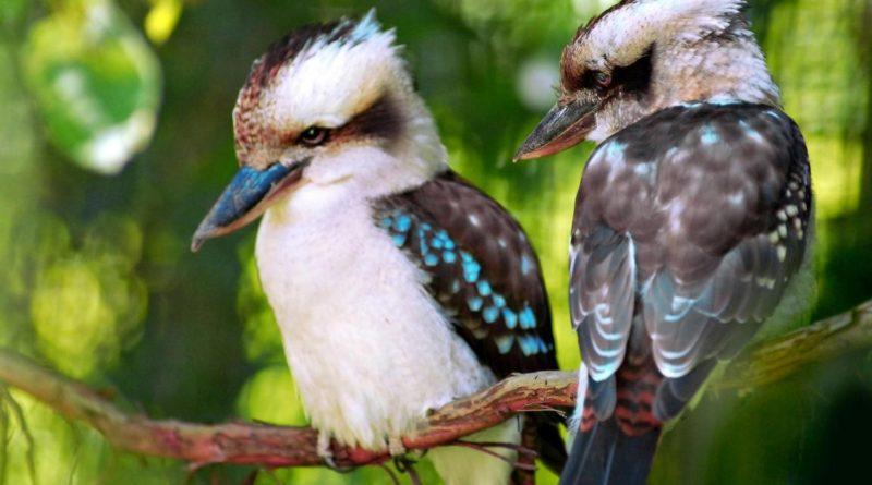 Кукабарра: Убивает ядовитых змей
