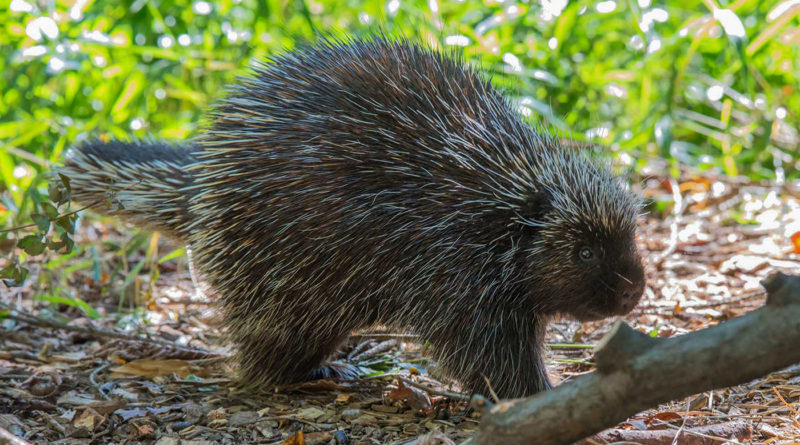 Поркупин: Лесной зверь