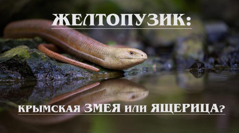 ЖЕЛТОПУЗИК: Змея или ящерица без ног, которая впадает в спячку летом