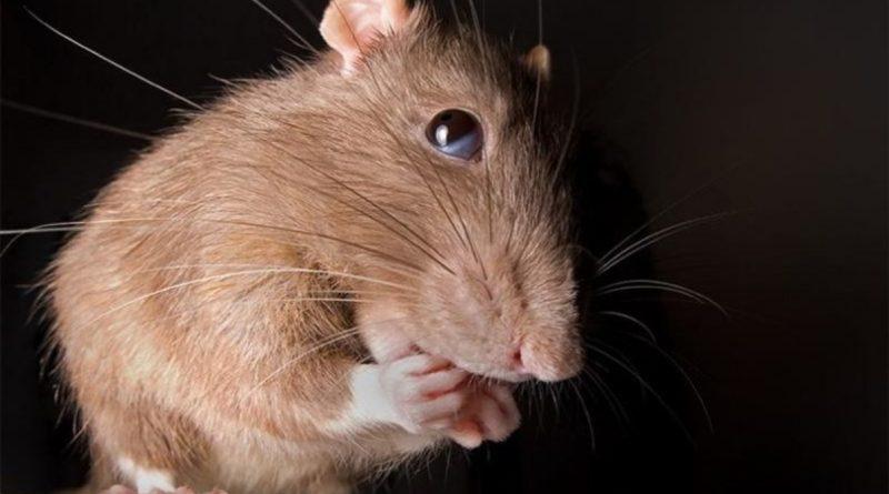 Крыса: Надо знать с кем имеешь дело