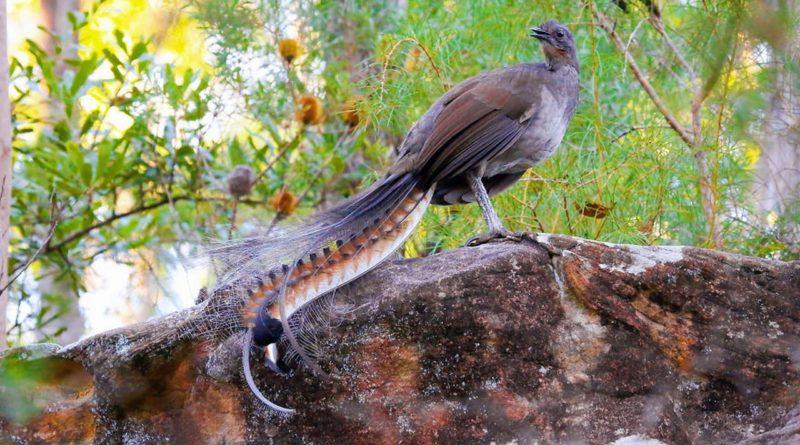 Лирохвост: Птица с божественным голосом