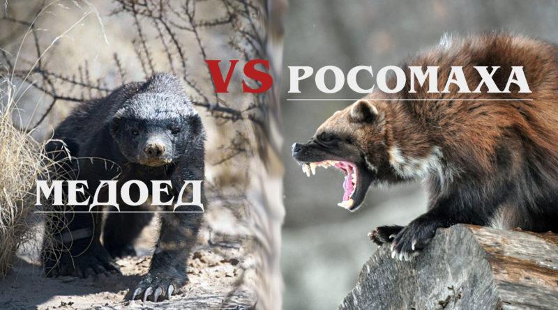 РОСОМАХА VS МЕДОЕД: Кто из этих БЕССТРАШНЫХ животных СИЛЬНЕЕ?