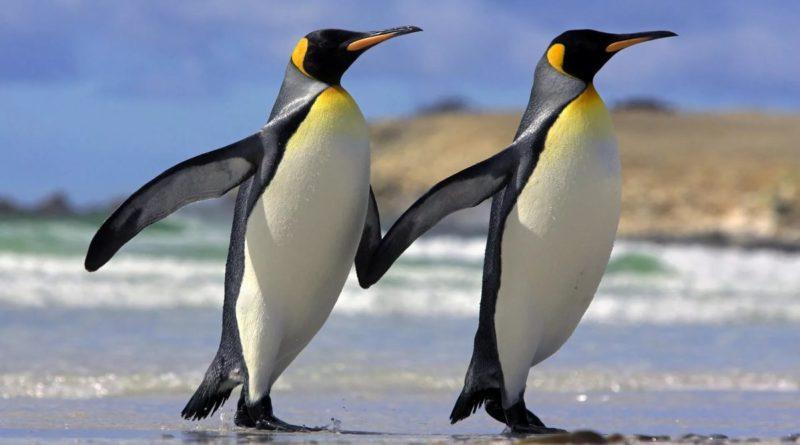 Королевские пингвины: Почему у них прозрачные яйца?
