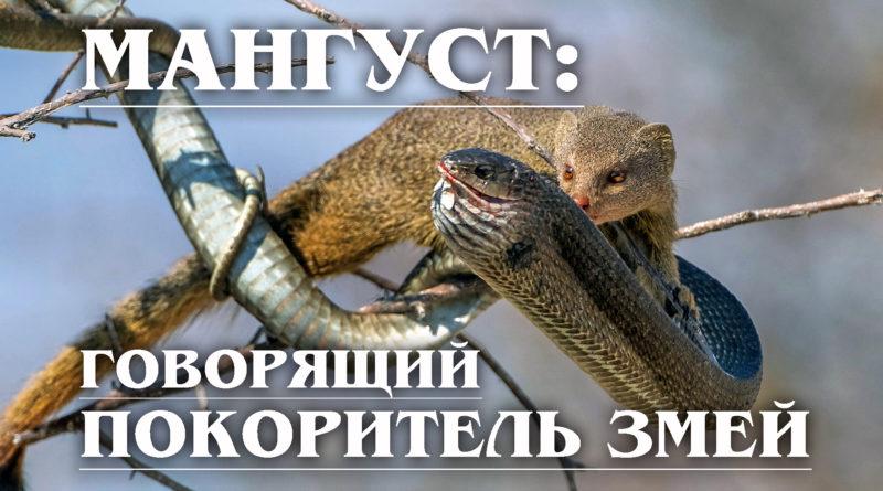 МАНГУСТ: Рикки-Тикки-Тави и бесстрашный УБИЙЦА змей, который умеет говорить