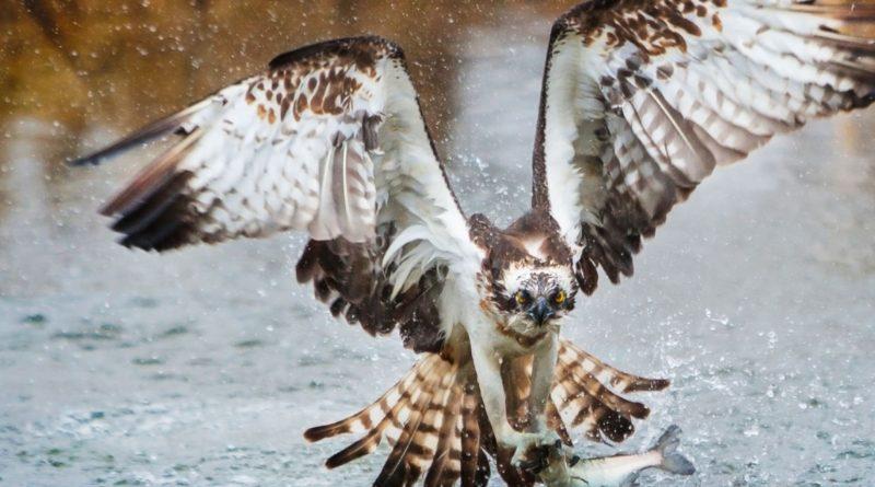 Скопа: Идеальная птица-рыболов