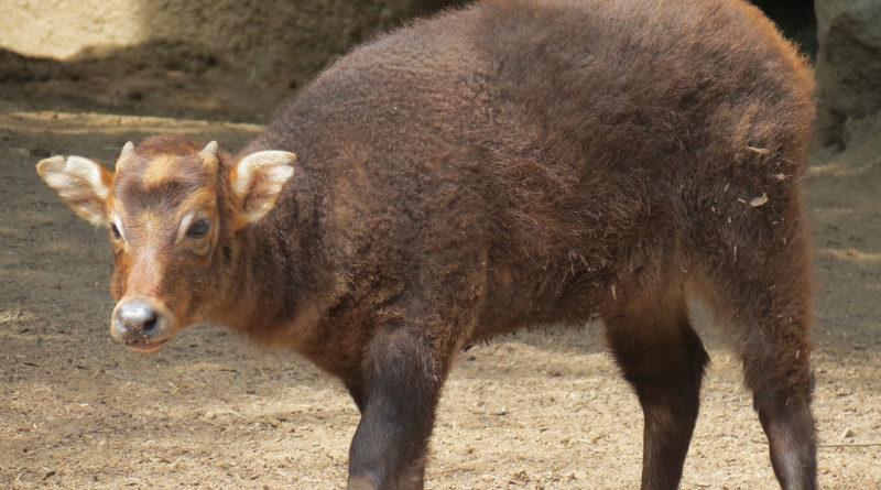 Аноа: Бык размером с собаку