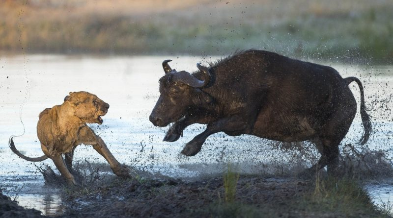Африканский буйвол: Силён и крайне опасен