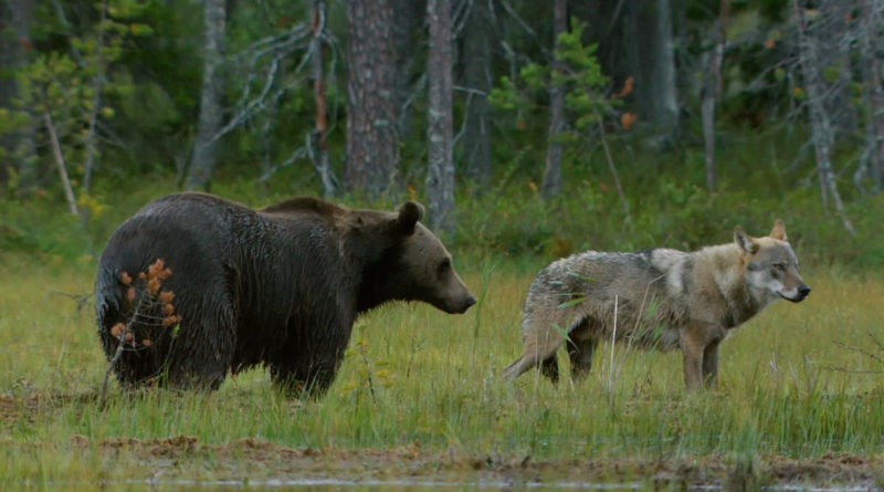 Зачем совершенные разные хищники создают союзы?