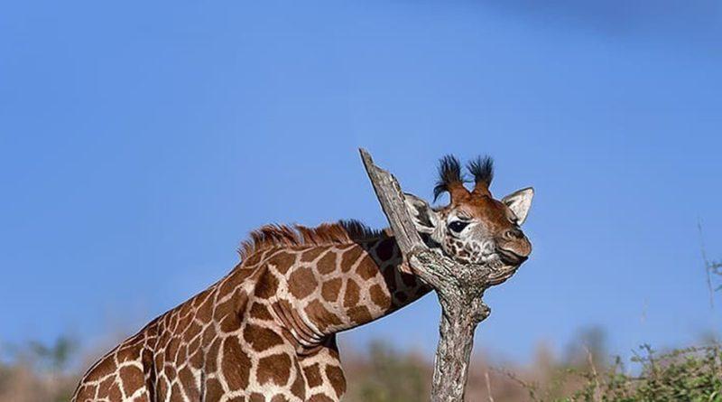 Жираф: Длинная шея - это не так уж и хорошо