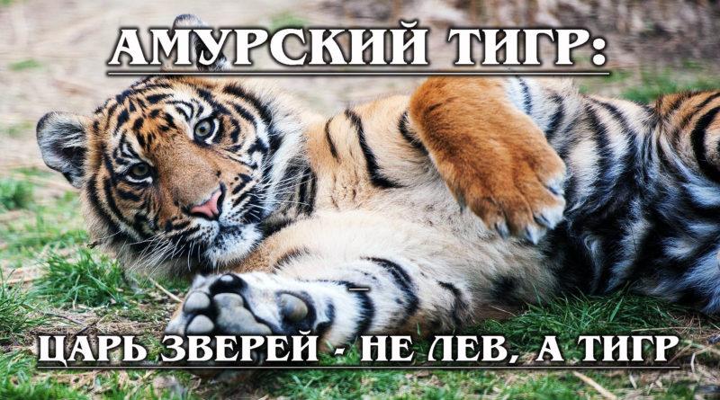 АМУРСКИЙ ТИГР: Русский ЦАРЬ зверей отказывается вымирать