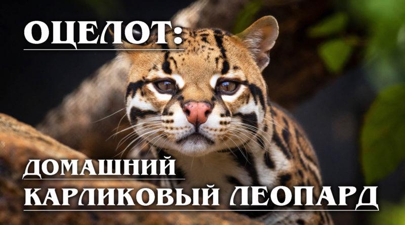 ОЦЕЛОТ: Домашний леопард с «ложными глазами»
