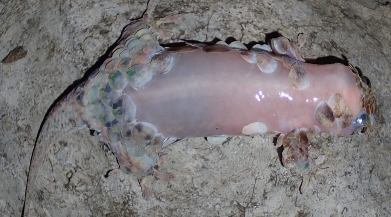 Голый геккон: Эксгибиционист по неволе