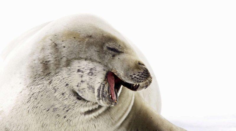 Тюлень-крабоед: Жуткие зубы