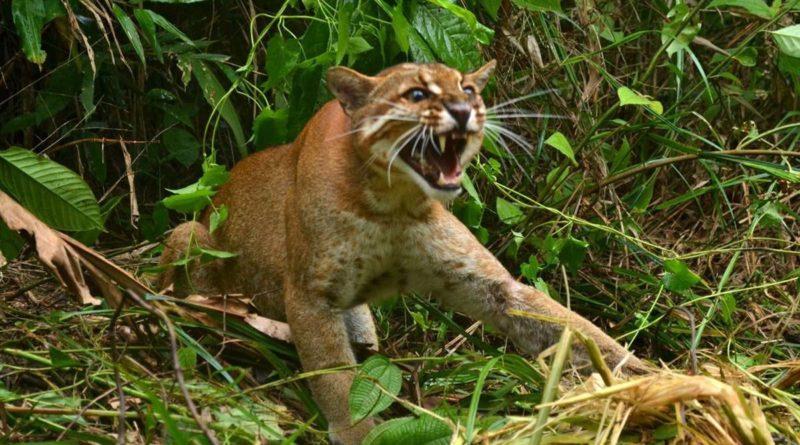 Калимантанская кошка: Восставшая из АДА