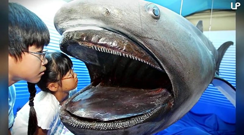 Большеротая акула: Ещё больше зубов!