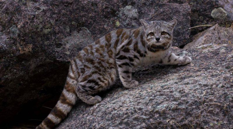 Андская кошка: Лирические коты, познавшие тщетность бытия
