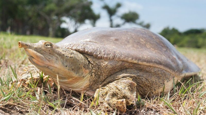 Мягкотелые черепахи: Коварные рептилии